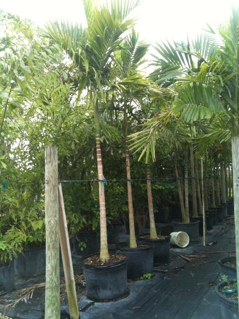 Alexander palms single 25 - Begonia argentata ...